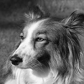 Ruby in Grey by Chrissie Barrow - Black & White Animals ( monochrome, black and white, pet, fur, ears, grey, dog, mono, nose, portrait, eyes, animal )