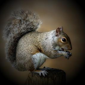 Squirrel nutkin by JCstudios by John Cuthbert - Animals Other Mammals ( nature, jcstudios, canvas, wildlife, artwork, squirel, animal,  )
