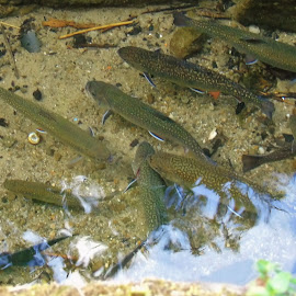 IN THE MOUNTAIN STREAM by Wojtylak Maria - Animals Fish ( mountains, stream, fish, trouts, animal )