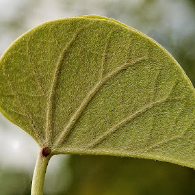 A close view of the back of a leaf in morning sunlight. by Govindarajan Raghavan - Nature Up Close Leaves & Grasses