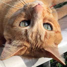 Henry by Dobrin Anca - Animals - Cats Portraits ( love, cat, brittany, garden, friend,  )