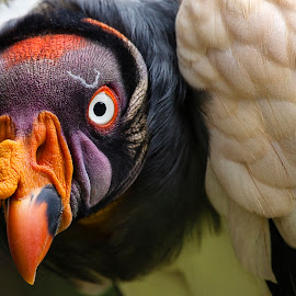 King Vulture by Shaun Janke - Animals Birds ( bird shots, bird, bird of prey, bird photography, animal )