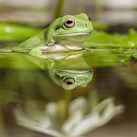Green Tree Frog (Hyla cinerea) by Teddy Winanda - Animals Amphibians ( reflection, nature, frog, green, green tree frog, animal )