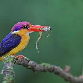by Sudhir Nambiar - Animals Birds