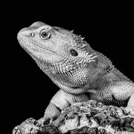 Beardie by Garry Chisholm - Black & White Animals ( sigma, bearded dragon, macro, nature, workshop, reptile, lizard, garry chisholm, canon )