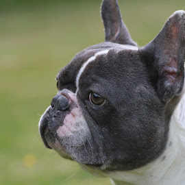 I´m watching you! by Bery Foto - Animals - Dogs Portraits ( bully, blue, french bulldog, head, dog, profile )