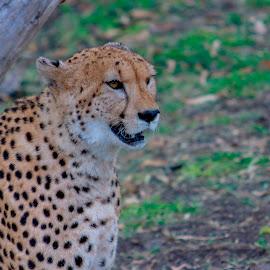 by Kishu Sing - Animals Lions, Tigers & Big Cats