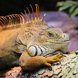 Red iguana iguana by Gérard CHATENET - Animals Reptiles