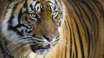 Tiger Population increased for the First Time in 100 Years