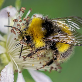 Foraging for nectar by Vinny Tyrell - Animals Insects & Spiders