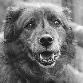 Lovely Dog by Chrissie Barrow - Black & White Animals ( monochrome, black and white, pet, fur, grey, dog, teeth, nose, mono, portrait, eyes )