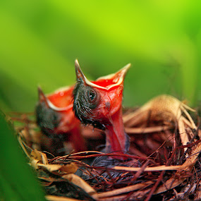 Hungry Chicks by Alit  Apriyana - Animals Birds