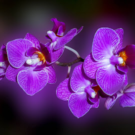 Orchids by JoAnne Noel - Flowers Flower Gardens (  )