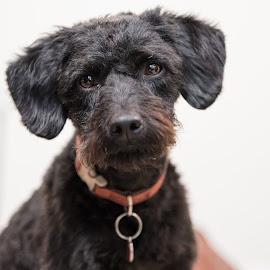 Pet Portrait by Anthony Ashcroft - Animals - Dogs Portraits ( minature, pet, labradoodle, puppy, portraits, dog, portrait, black,  )