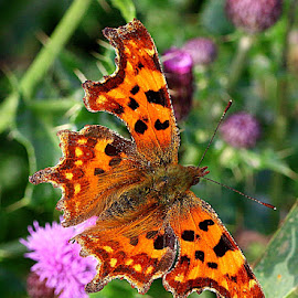 Comma Butterfly by Chrissie Barrow - Animals Insects & Spiders ( orange, butterfly, wild, comma, autumn, thistles, wings, antennae, brown, insect, animal )