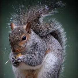 by Steven Maerz - Animals Other Mammals ( #squirrel #nut #furry #eating )