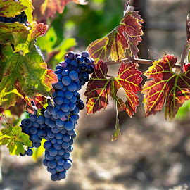 Vineyards in the foothills of the Sierra Nevadas by Mark Chandler - Nature Up Close Other Natural Objects ( autumn, grapes, colors, vineyards, winery )