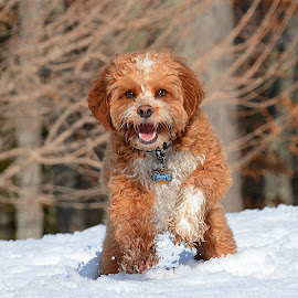 Smile!!! by Steven Liffmann - Animals - Dogs Portraits ( lenny, snow, puppy, cavapoo, cute, smile, dog )