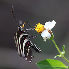 Zebra Winged Butterfy by Aaron Whitaker - Animals Insects & Spiders