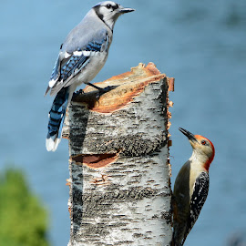 Mixed flock by Steven Liffmann - Animals Birds ( bird, wildlife, red-bellied woodpecker, blue jay, birds, closeup )