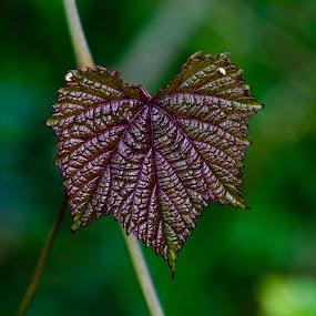 * by Karthikeyan Chinnathamby - Nature Up Close Leaves & Grasses ( nature, green, karthikeyan, south, chinnathamby, india, earth, leaf, closeup, tamilnadu )