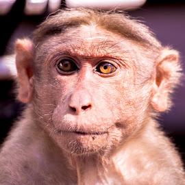 India Monkey by Naveen Joyous - Animals Other ( nature, wildlife, close up, monkey, animal )