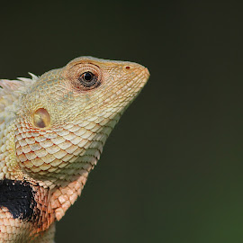 Common Garden Lizard by Sandip Rajguru - Animals Reptiles ( garden lizards, reptiles, lizard, eye, animal )