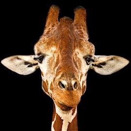 by Judy Rosanno - Animals Other Mammals ( san antonio zoo,  )