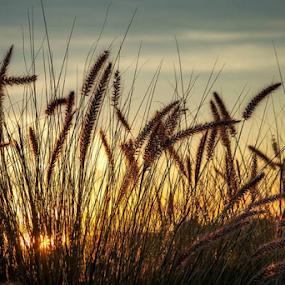 sunrise on grass by Linda Stander - Nature Up Close Leaves & Grasses ( orange, sunrise, grass )