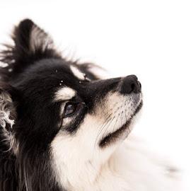 Please by Johnny Ljung - Animals - Dogs Portraits ( pet portrait, dogs, pet, pets, dog )
