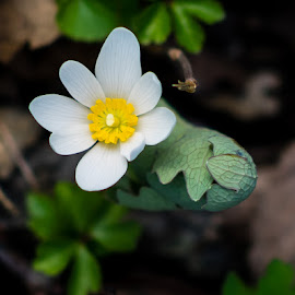 Blossom of a Blood Root by Steve Hall - Flowers Flowers in the Wild ( wildflower )