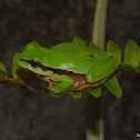 Mountain Tree Frog