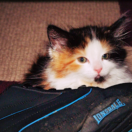 Hiding behind daddy shoe by Mick Greaves - Animals - Cats Kittens ( colour, cat, kitten, hiding, maine coon, fur, cute,  )