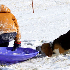 That's my sled! by Carlene Pulley - Animals - Dogs Playing