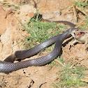 Greater Whip Snake
