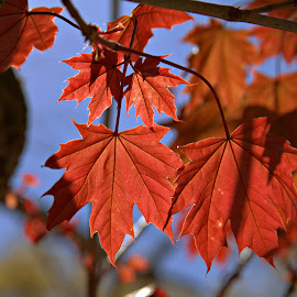 Red Leaves of French Lick by Dale Fillmore - Nature Up Close Leaves & Grasses ( park, nature, trees, leaves, close up,  )