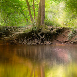 The Old Tree by Colin Evans - Landscapes Forests ( plant, water, reflection, tree, roots, river mole, river )