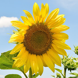 nice sunflower by LADOCKi Elvira - Flowers Flowers in the Wild