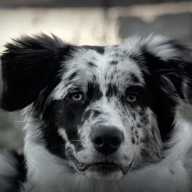 Australian Shepherd by Tiffany Serijna - Animals - Dogs Portraits ( female, black and white, bw, australian shepherd, dog, maggie, close up, portrait )