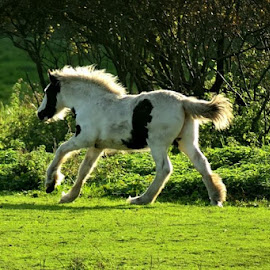 by Bob White - Animals Horses ( galloping, horse, galloping horse )