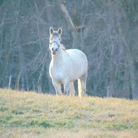 White Horse by Richard Crosier - Animals Horses ( farm, field, nature, horse, landscapes,  )