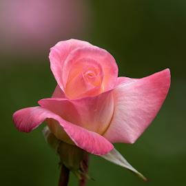 Rose 9905 by Raphael RaCcoon - Flowers Single Flower ( roses )