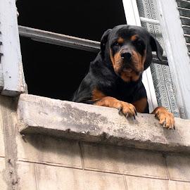 not ring the doorbell by Franky Vanlerberghe - Animals - Dogs Portraits ( window, hond kijkt door het ram, dog, dog at the window )
