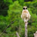 Acauã(Laughing Falcon)