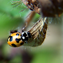 Parenthesis Lady Beetle