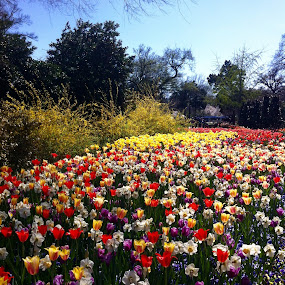 Lilies in full bloom at Dallas arboretum  by Anu Sehgal - Flowers Flower Gardens (  )