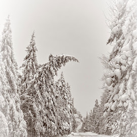 Road to Christmas by Mike Woodard - Landscapes Forests ( ely, winter scene, snow )