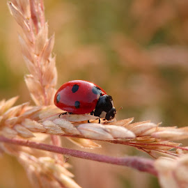 Lady bug by Valentina Masten - Nature Up Close Other Natural Objects