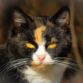 The Feral Queen by Sue Delia - Animals - Cats Portraits ( calico, face, cat, eyes, feral )