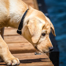 Concentration by Dave Lipchen - Animals - Dogs Puppies ( yellow lab )